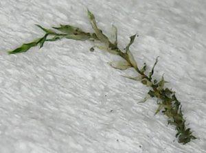 ホソウリゴケの植物体を1本だけ取り出したもの