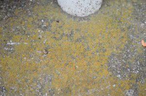 コンクリートの表面に生育するツブダイダイゴケ