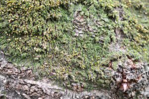 サクラの樹の幹に生育するヒナノハイゴケ