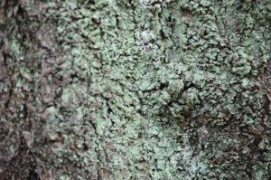 サクラの樹の幹に生育するレプラゴケ