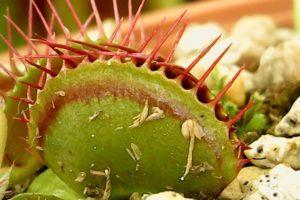 閉じた状態のハエトリグサの捕虫器官