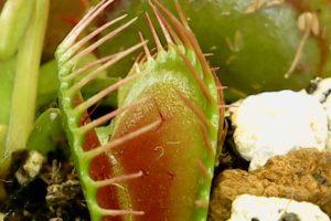 開いた状態のハエトリグサの捕虫器官