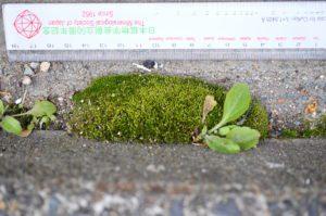 路肩の縁石に生えるホソウリゴケ