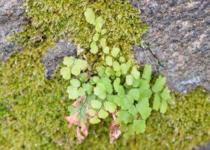 閃緑岩(もしくは花崗閃緑岩)の表面に生育するホウライシダ