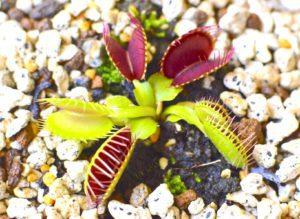 食虫植物のハエトリグサ(蝿捕草)