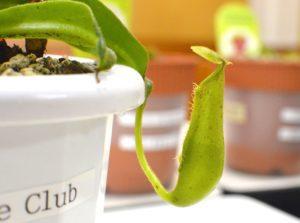 食虫植物のウツボカズラ