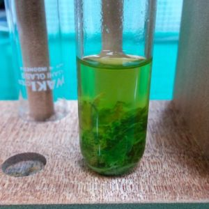ゾウリムシの簡易的な培養方法と電気走性の観察(中学校理科・高校生物)