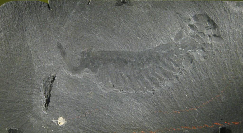 バージェス頁岩層から見つかったオパビニアの化石(米国スミソニアン博物館所蔵)